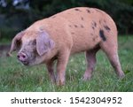 Oxford Sandy and Black breed of pigs, rooting for acorns in the New Forest, Hampshire, UK during autumn. Pigs are released into the public areas to root for acorns which are poisonous to other animals