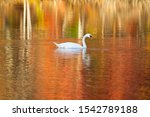 Swan In Autumn Lake With...