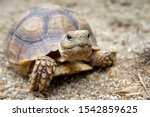 Stock photo close up african spurred tortoise resting in the garden slow life africa spurred tortoise 1542859625