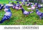 Flock Of Pigeons  Dove  Walkin...