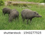 The Group Of Babirusas In The...