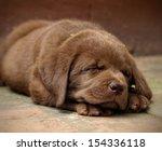Stock photo sleeping chocolate labrador puppy 154336118