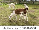 A large brown llama feeds a small white llama. The little llama greedily sucks milk. Meadow on a llamas breeding farm.
