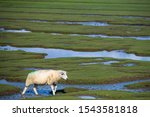 A Sheep In The Salt Marshes On...
