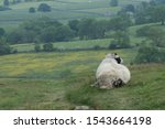 Sheep On A Hill In West...