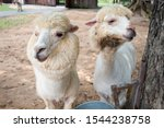 Two Alpaca In Alpaca Hill. Thi...