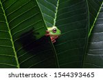 Australian White Tree Frog On...