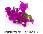 bougainvillea flowers isolated | Shutterstock . vector #154465112