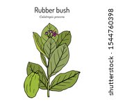 rubber bush  or sodom apple ... | Shutterstock .eps vector #1544760398