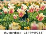 Beautiful Flower Tulips...