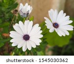 White Flowers  With Purple...
