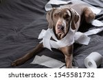 Small photo of Funny pointer dog with guilty look after playing and making mess with toilet paper lying on bed