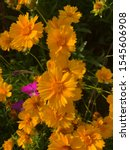 Orange Flowers Coreopsis Yello...