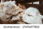 Two Llamas Kissing. Cute Littl...