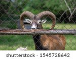 Wild Mouflon Sheep  One Male...