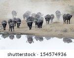 Buffalo Herd Going To Drink.