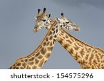 Male And Female Giraffe During...
