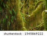 CLOSE UP, DOF: Small fern leaves start growing out of the moss covered spruce in the depths of the temperate rainforest in Washington, USA. Scenic shot of lush greenery in the Olympic National Park. - stock photo