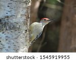 Red Bellied Woodpecker On A...