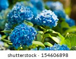 Many Blue Hydrangea Flowers...