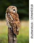 Tawny Owl On Fence Post Agains...