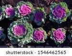 Decorative Cabbage  Brassica...