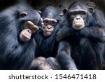 Chimpanzee Consists Of Two...