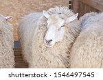 Sad Kulunda Breeding Sheep....