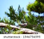 Wild Dove On The Pine Tree ...