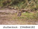 Erithacus Rubecula European...
