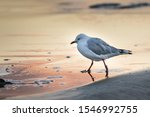 Stock photo a closeup shot of a european herring gull walking on the seashore with a blurred background 1546992755
