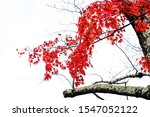 Red Autumn Trunk And Branch...