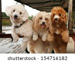 Portrait Of Three Cute Poodle...