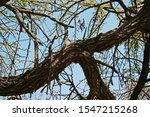 Thick Forked Branch With Very...
