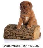 Dogue De Bordeaux Puppy With...