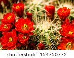 Bright Red Barrel Cactus Blooms