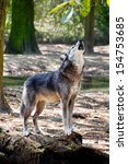 gray wolf standing on a log and ... | Shutterstock . vector #154753685