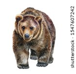 Brown Bear Walking In Front...