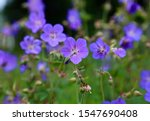 Lovely Purple Wildflowers At...