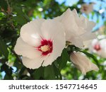 White Wings Chinese Hibiscus Or ...