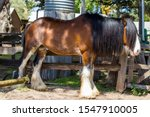 A Brown Color Clydesdale Horse...