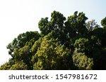 Dense Foliage Of Ficus...