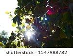 Sunburst Seen Through Green...