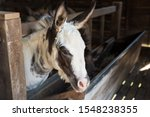 Furry donkey in shed or barn at ...