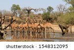 Small photo of A herd of very wary Impala drink hastily at the water offered by the Chitake Spring, Mana Pools, Zimbabwe