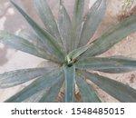 Spanish Daggar Yucca Gloriosa...