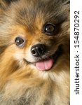 Pomeranian Face With His Little ...