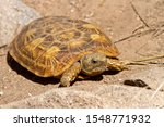 Stock photo the distinctive flattened shape of the rare pancake tortoise is endemic to areas of granite 1548771932