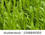 Grass In Raindrops. Leaves Of...