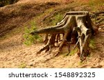 A Big Old And Withered Stump O...